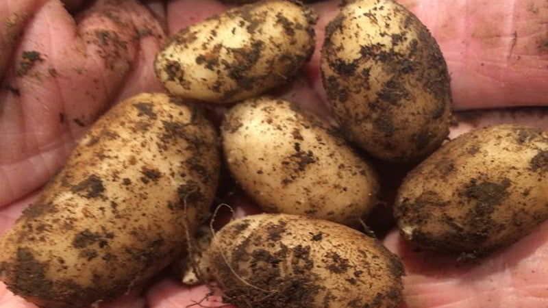 Handful of New Potatoes