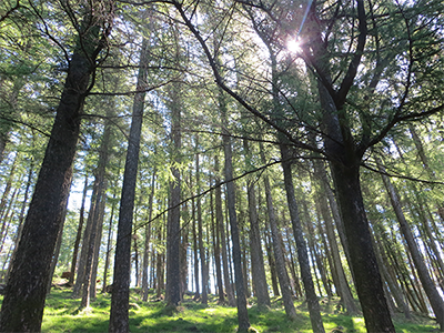 Photograph by Future Fixers looking through a forest of tall trees up to blue sky and sunlight at Gummers How